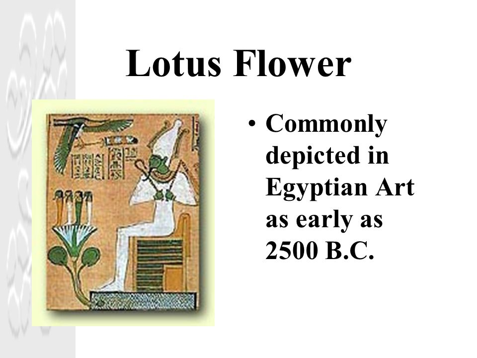 Lotus Flower Commonly depicted in Egyptian Art as early as 2500 B.C.
