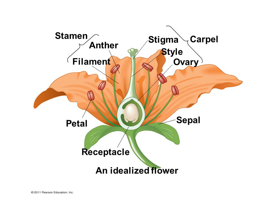 Stamen Stigma Carpel Anther Style Filament Ovary Sepal Petal Receptacle An idealized flower