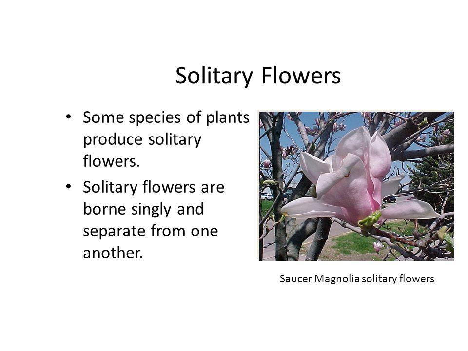 Saucer Magnolia solitary flowers