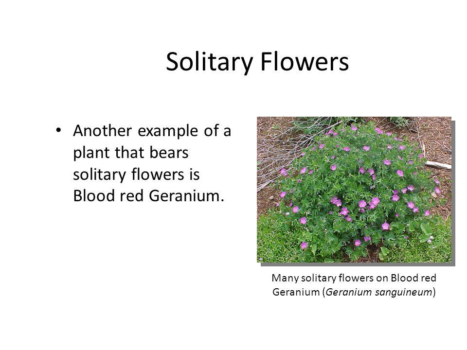 Many solitary flowers on Blood red Geranium (Geranium sanguineum)