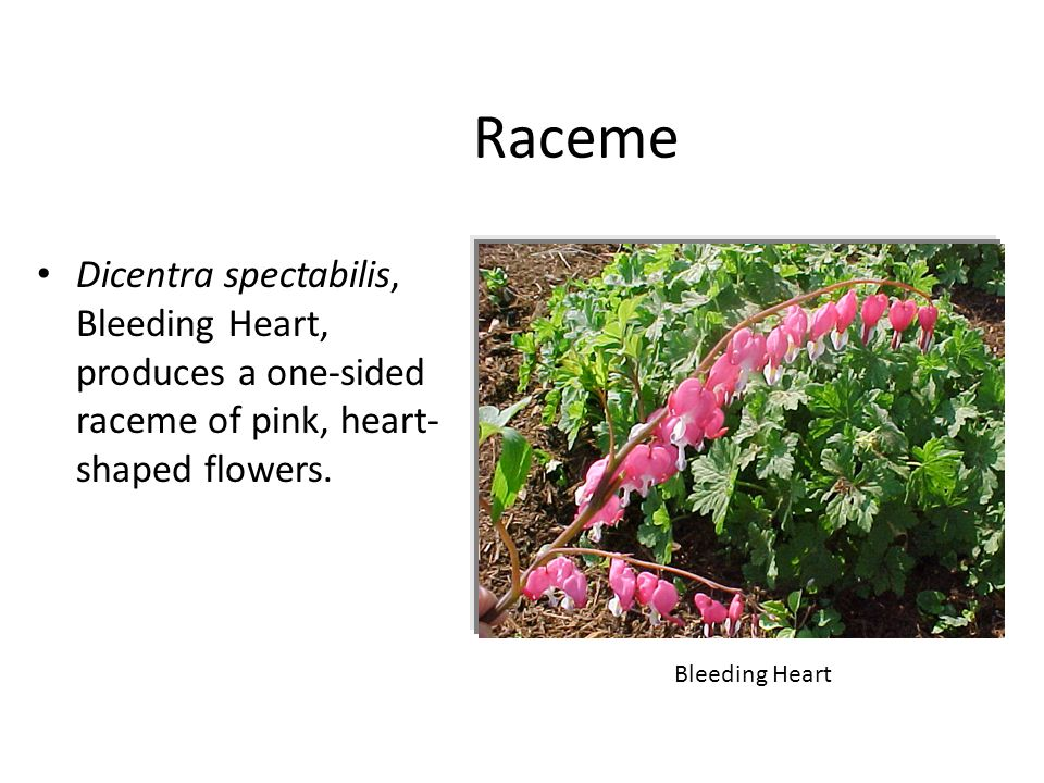 Raceme Dicentra spectabilis, Bleeding Heart, produces a one-sided raceme of pink, heart-shaped flowers.