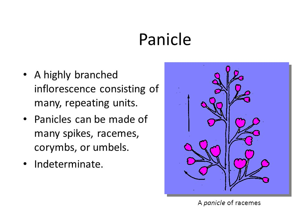 Panicle A highly branched inflorescence consisting of many, repeating units. Panicles can be made of many spikes, racemes, corymbs, or umbels.