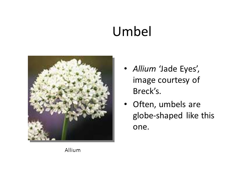Umbel Allium 'Jade Eyes', image courtesy of Breck's.