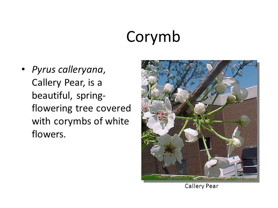 Corymb Pyrus calleryana, Callery Pear, is a beautiful, spring-flowering tree covered with corymbs of white flowers.
