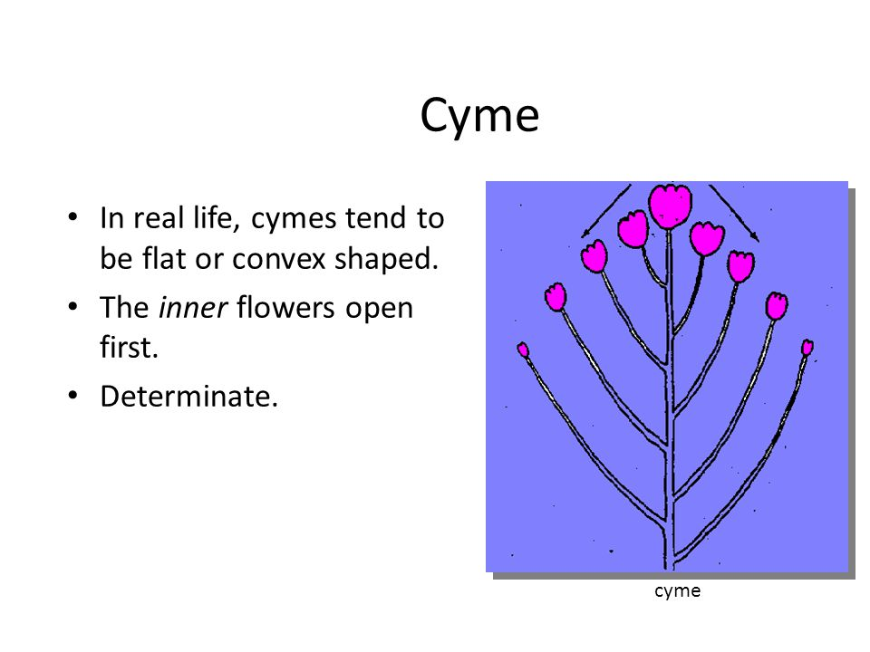 Cyme In real life, cymes tend to be flat or convex shaped.