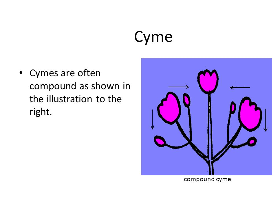 Cyme Cymes are often compound as shown in the illustration to the right. compound cyme