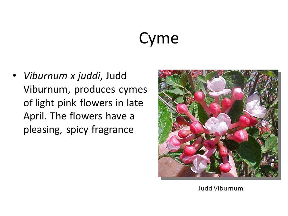 Cyme Viburnum x juddi, Judd Viburnum, produces cymes of light pink flowers in late April. The flowers have a pleasing, spicy fragrance.
