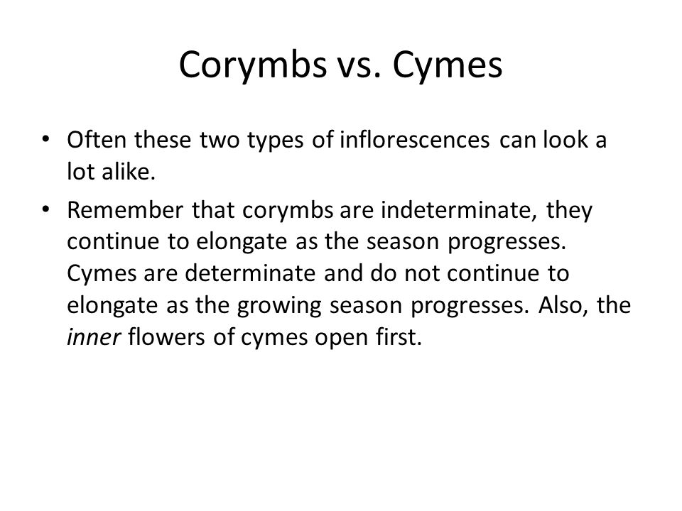 Corymbs vs. Cymes Often these two types of inflorescences can look a lot alike.
