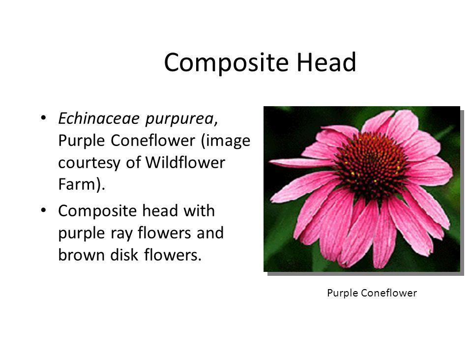 Composite Head Echinaceae purpurea, Purple Coneflower (image courtesy of Wildflower Farm).