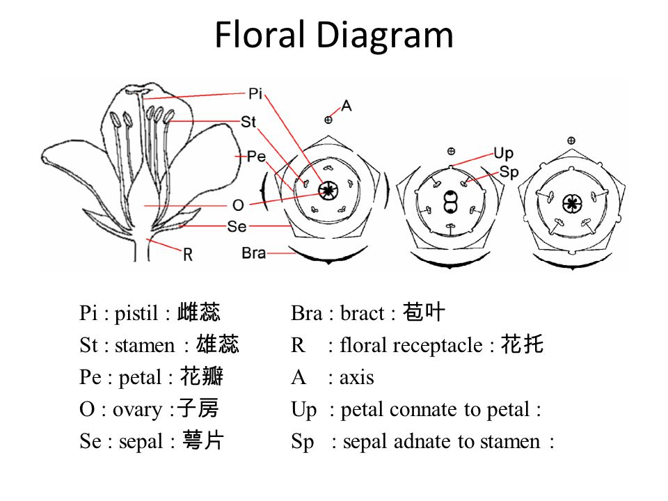 Floral Diagram Pi : pistil : 雌蕊 St : stamen : 雄蕊 Pe : petal : 花瓣