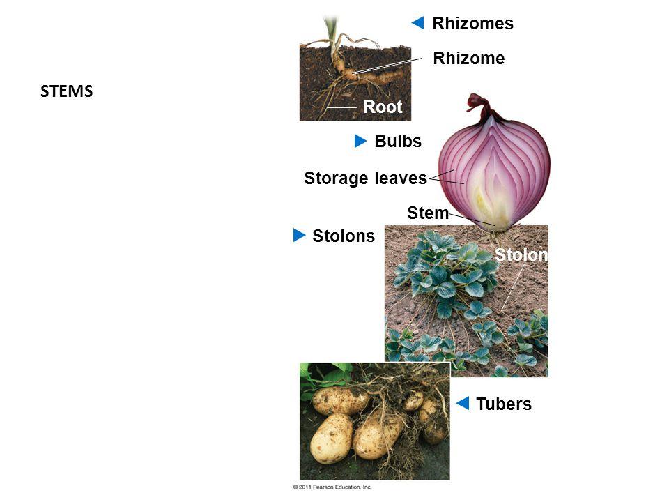 STEMS Rhizomes Rhizome Root Bulbs Storage leaves Stem Stolons Stolon