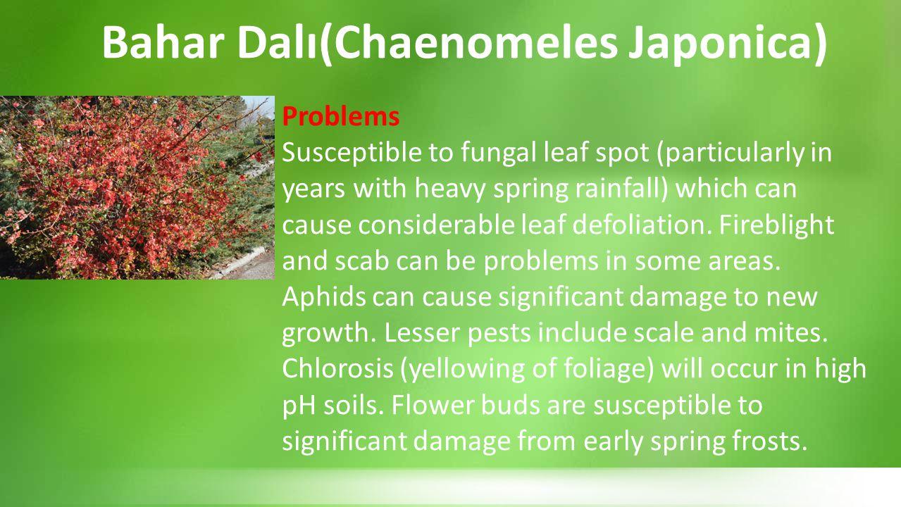 Bahar Dalı(Chaenomeles Japonica)