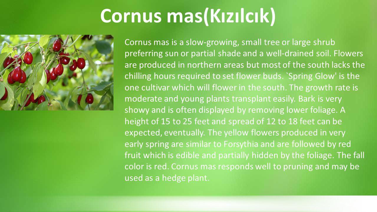 Cornus mas(Kızılcık)