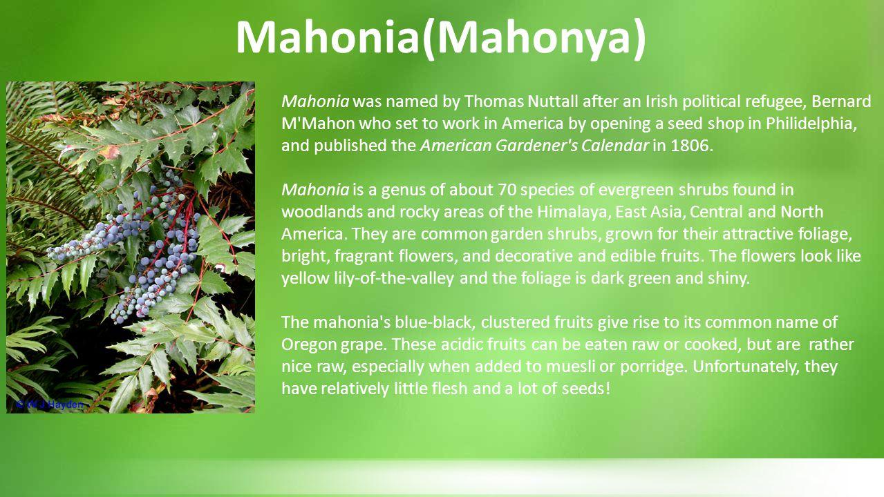 Mahonia(Mahonya)