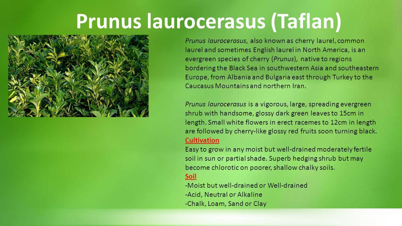 Prunus laurocerasus (Taflan)