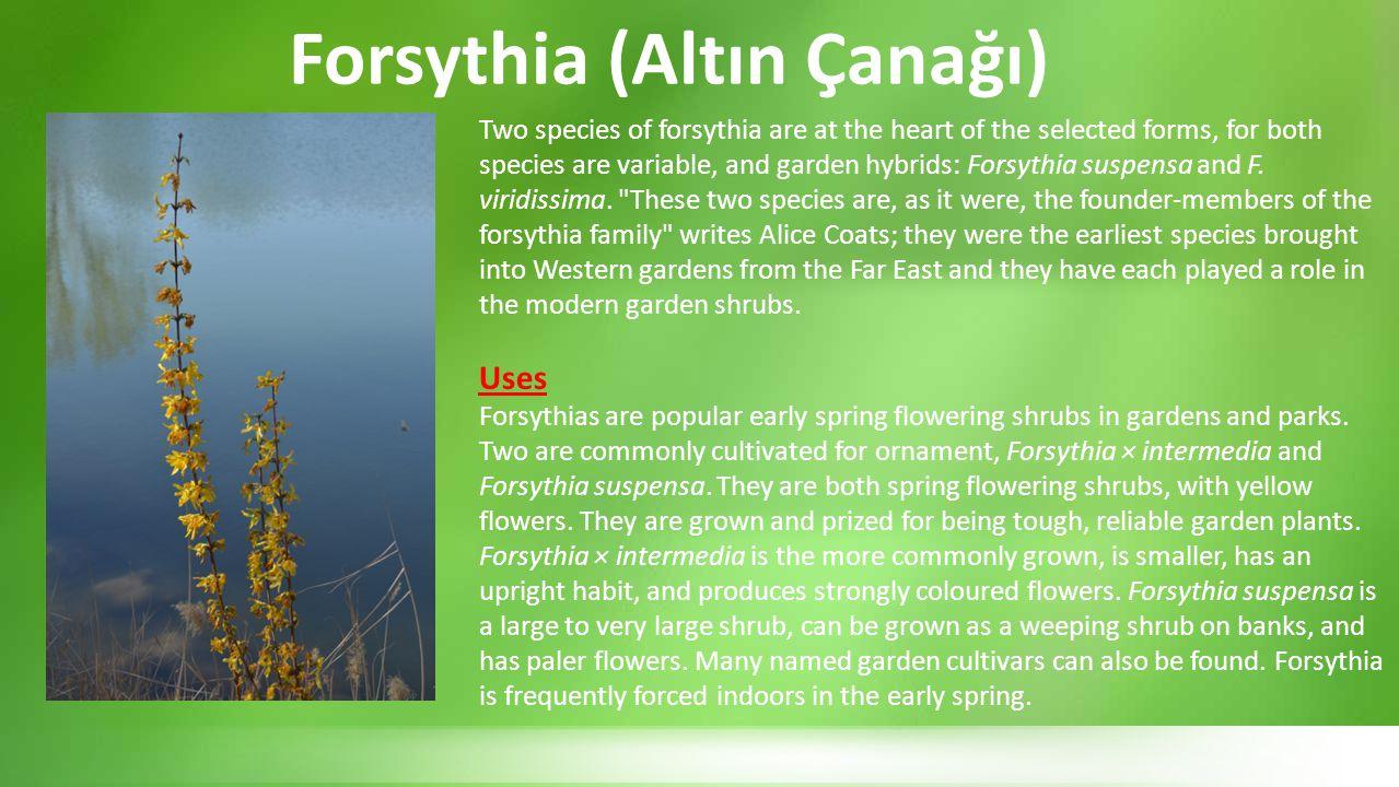 Forsythia (Altın Çanağı)