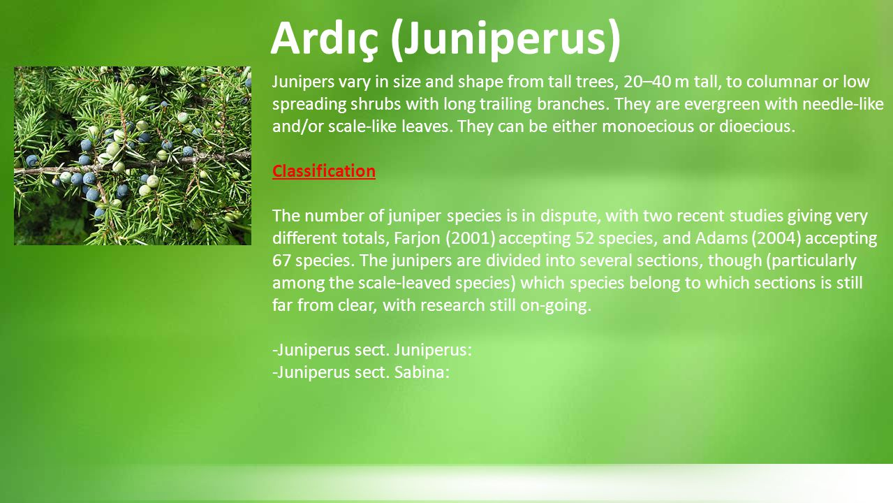 Ardıç (Juniperus)
