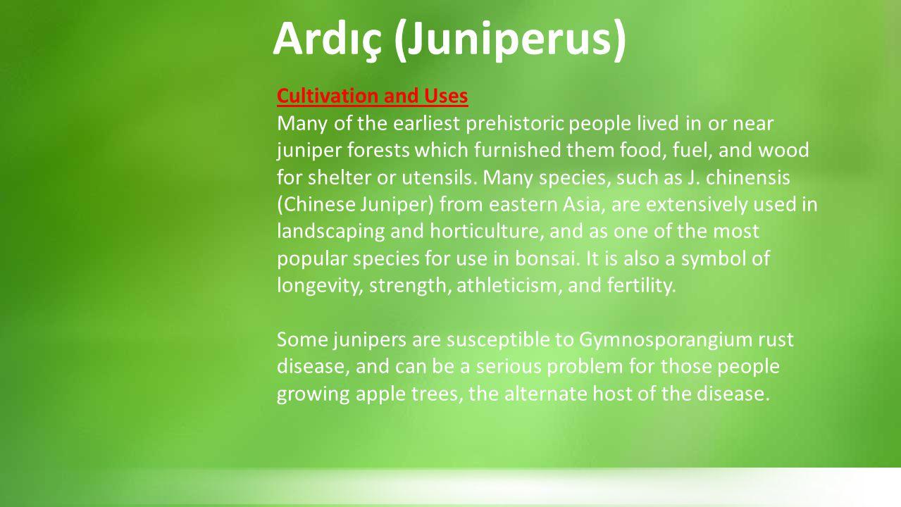 Ardıç (Juniperus) Cultivation and Uses