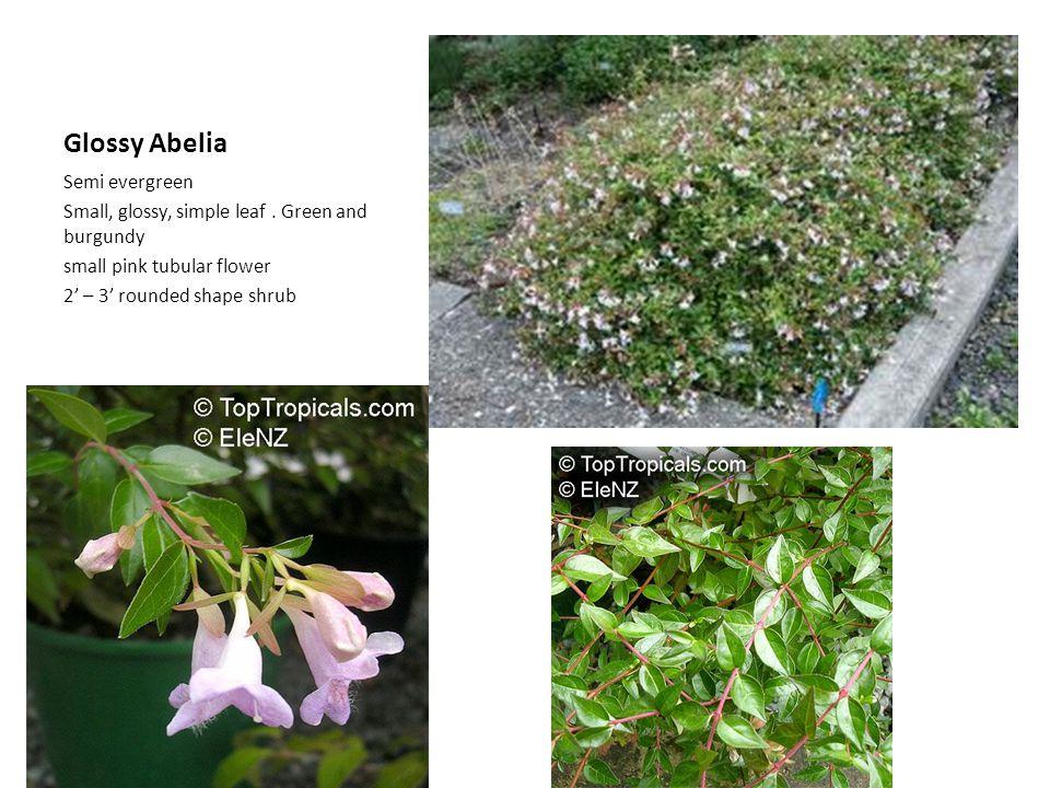 Glossy Abelia Semi evergreen