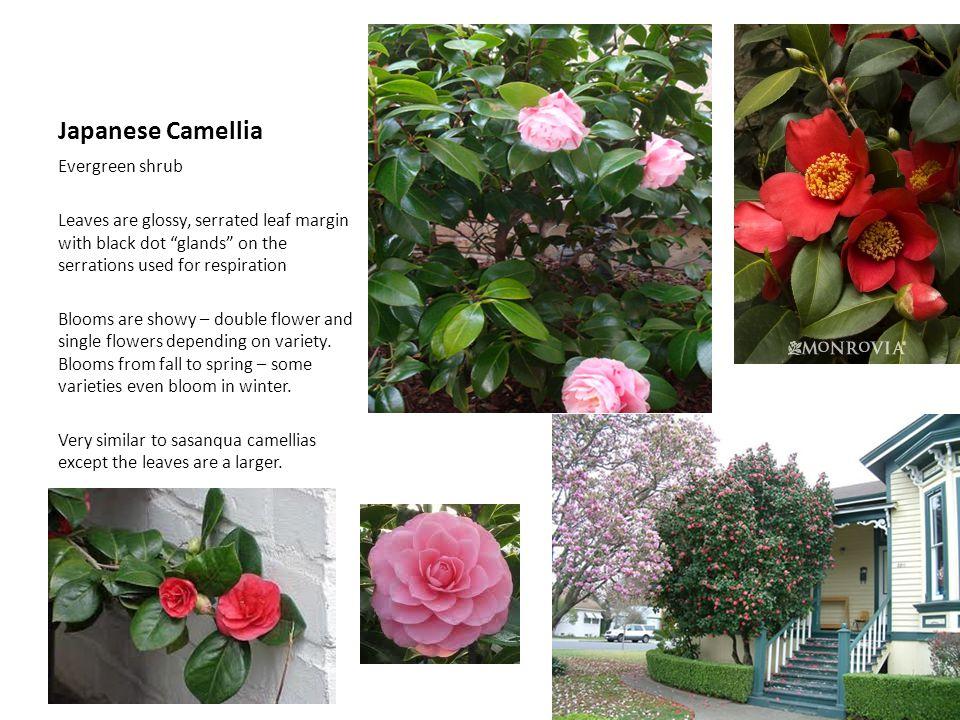 Japanese Camellia Evergreen shrub