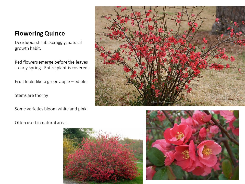 Flowering Quince Deciduous shrub. Scraggly, natural growth habit.