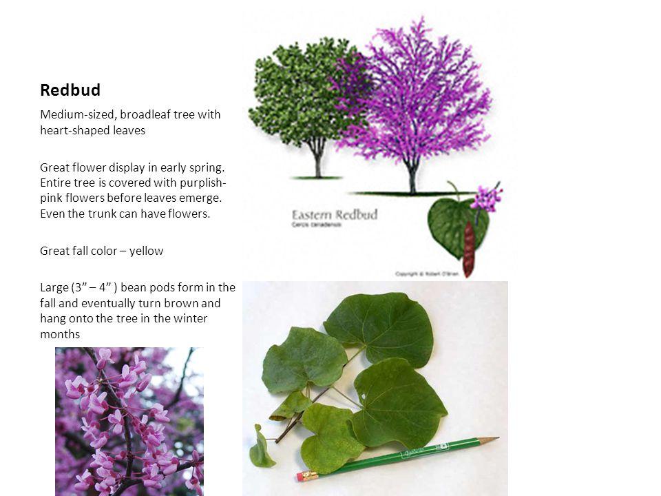 Redbud Medium-sized, broadleaf tree with heart-shaped leaves