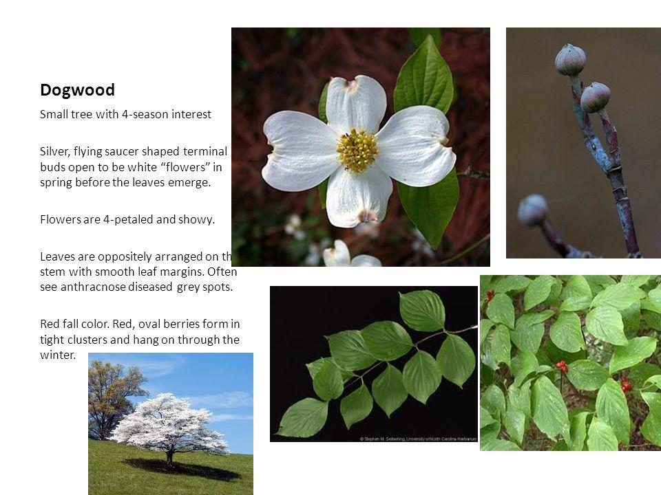 Dogwood Small tree with 4-season interest