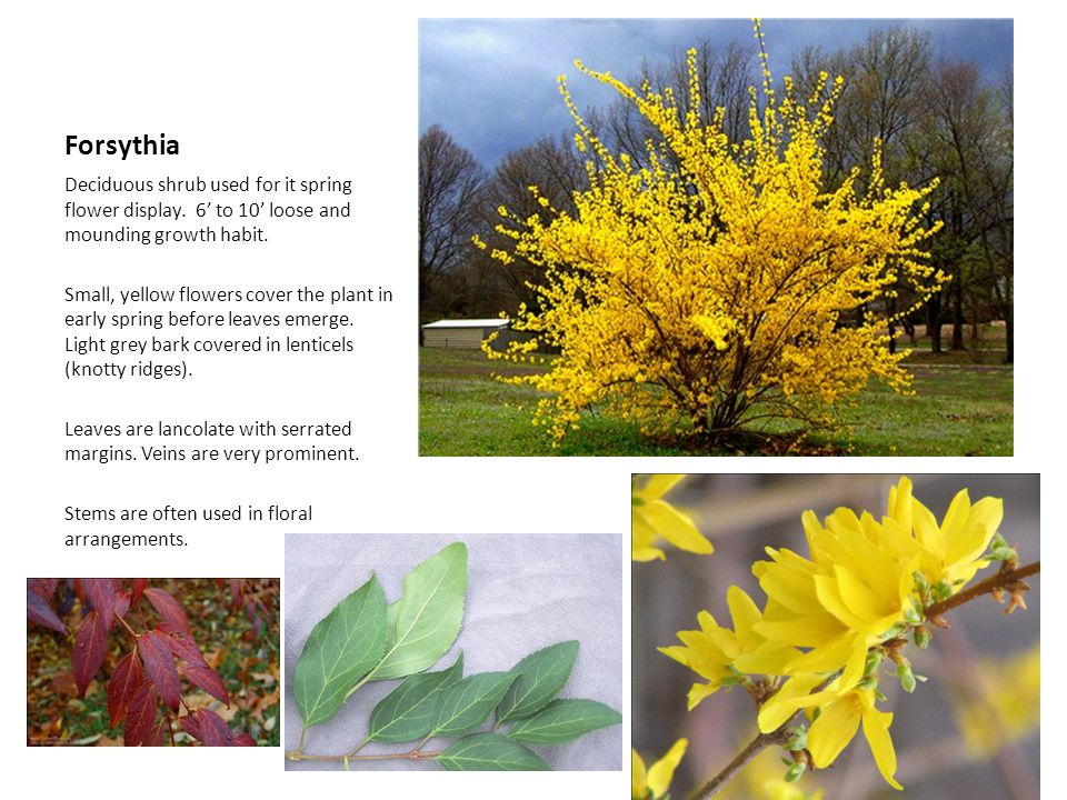 Forsythia Deciduous shrub used for it spring flower display. 6' to 10' loose and mounding growth habit.