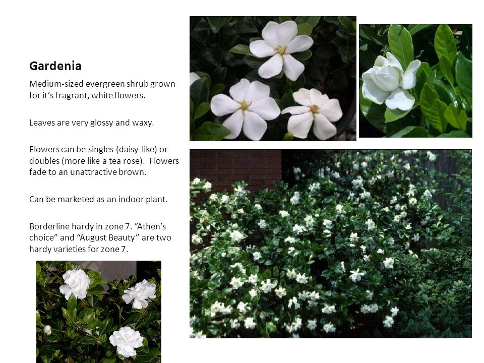 Gardenia Medium-sized evergreen shrub grown for it's fragrant, white flowers. Leaves are very glossy and waxy.