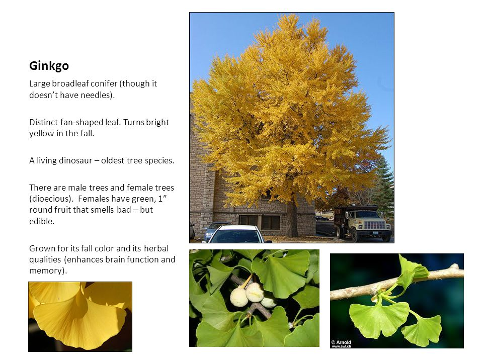Ginkgo Large broadleaf conifer (though it doesn't have needles).