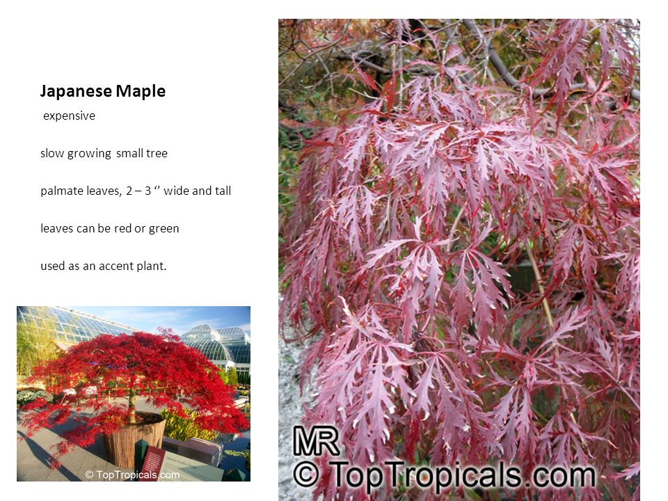 Japanese Maple expensive slow growing small tree