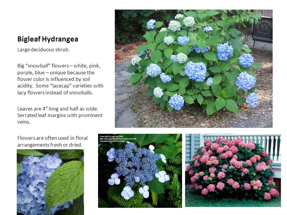 Bigleaf Hydrangea Large deciduous shrub.