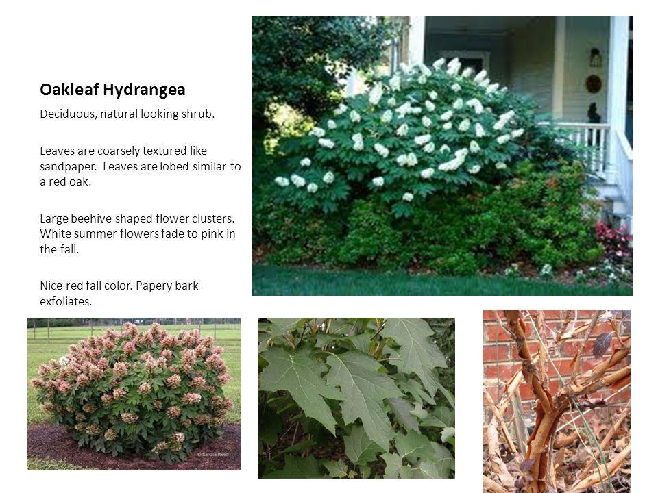 Oakleaf Hydrangea Deciduous, natural looking shrub.
