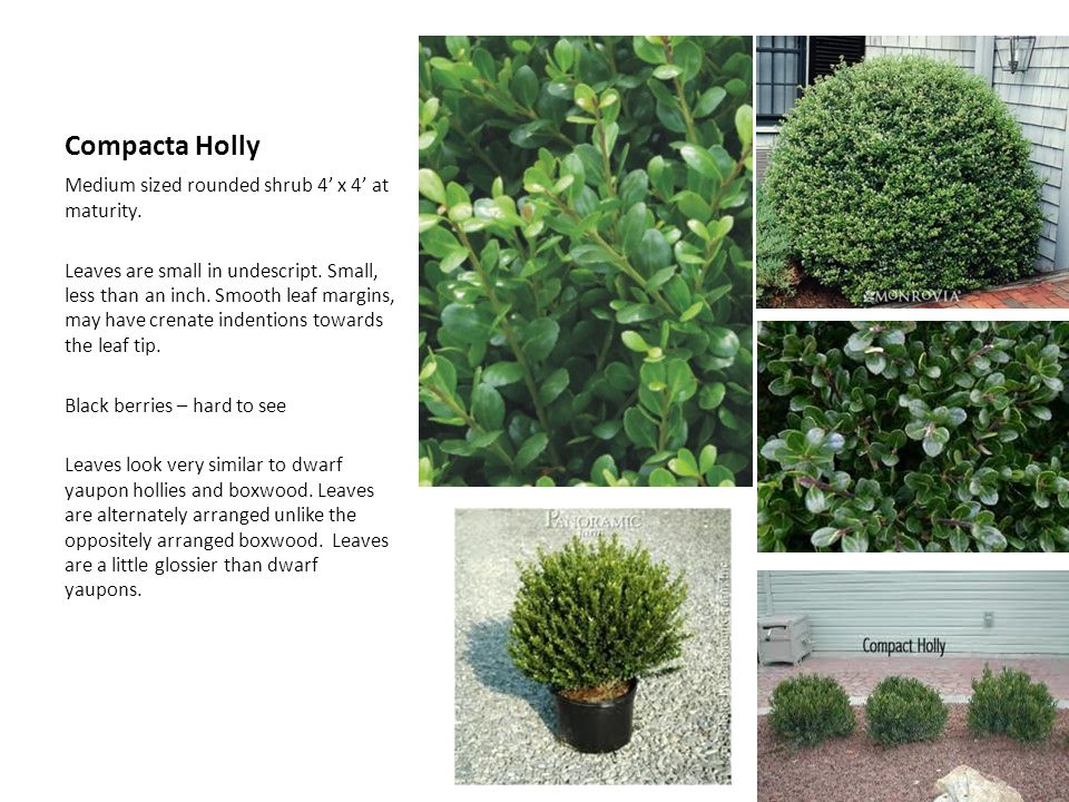 Compacta Holly Medium sized rounded shrub 4' x 4' at maturity.