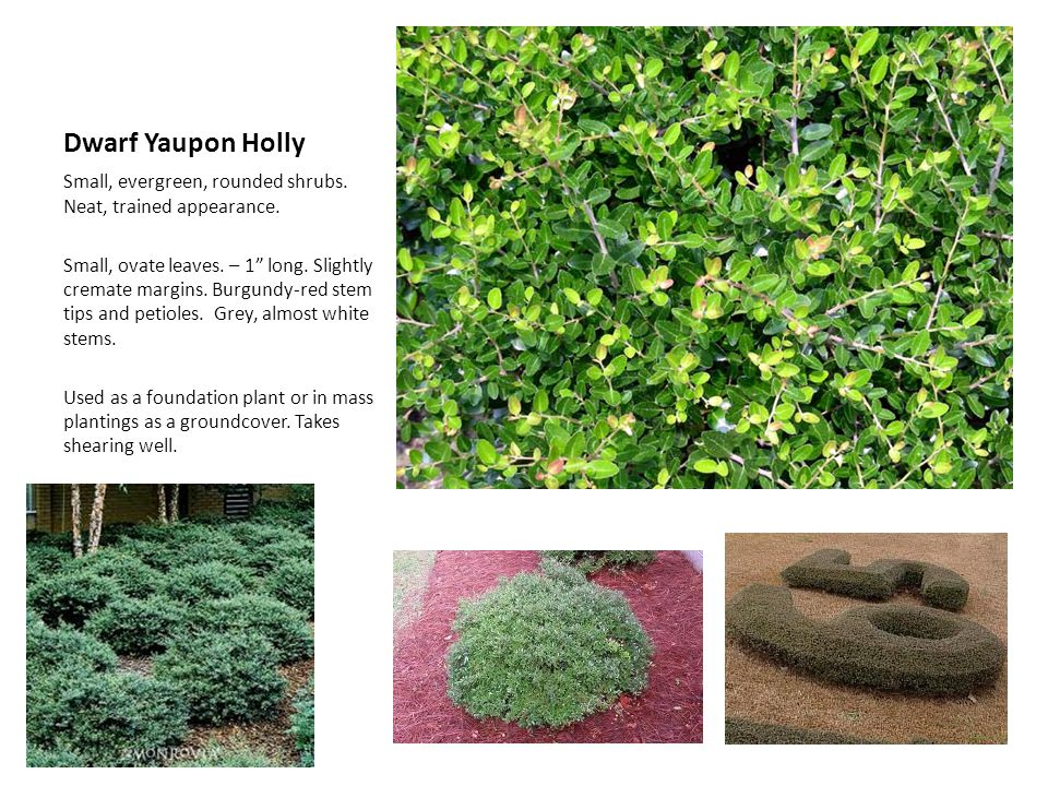 Dwarf Yaupon Holly Small, evergreen, rounded shrubs. Neat, trained appearance.
