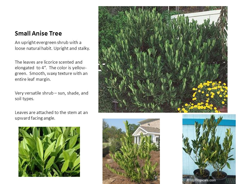 Small Anise Tree An upright evergreen shrub with a loose natural habit. Upright and stalky.