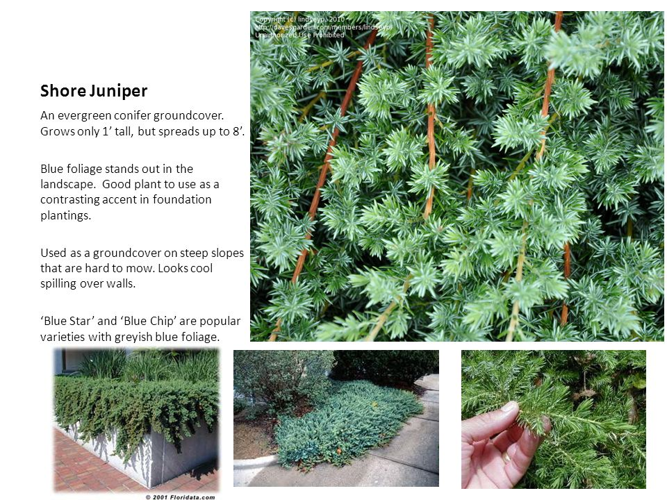 Shore Juniper An evergreen conifer groundcover. Grows only 1' tall, but spreads up to 8'.
