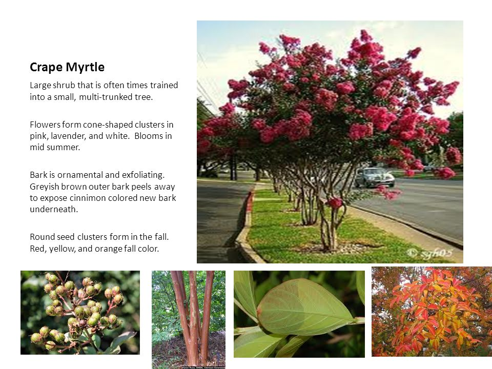 Crape Myrtle Large shrub that is often times trained into a small, multi-trunked tree.