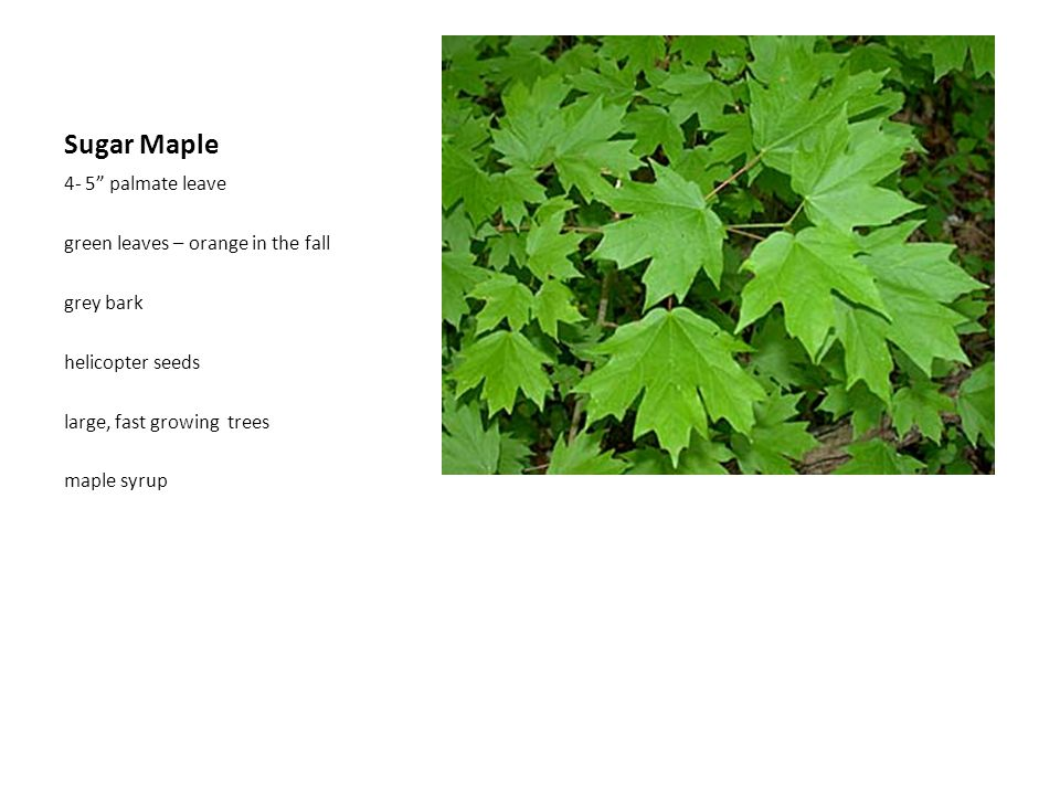 Sugar Maple 4- 5 palmate leave green leaves – orange in the fall