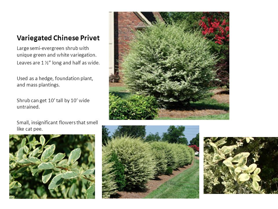 Variegated Chinese Privet