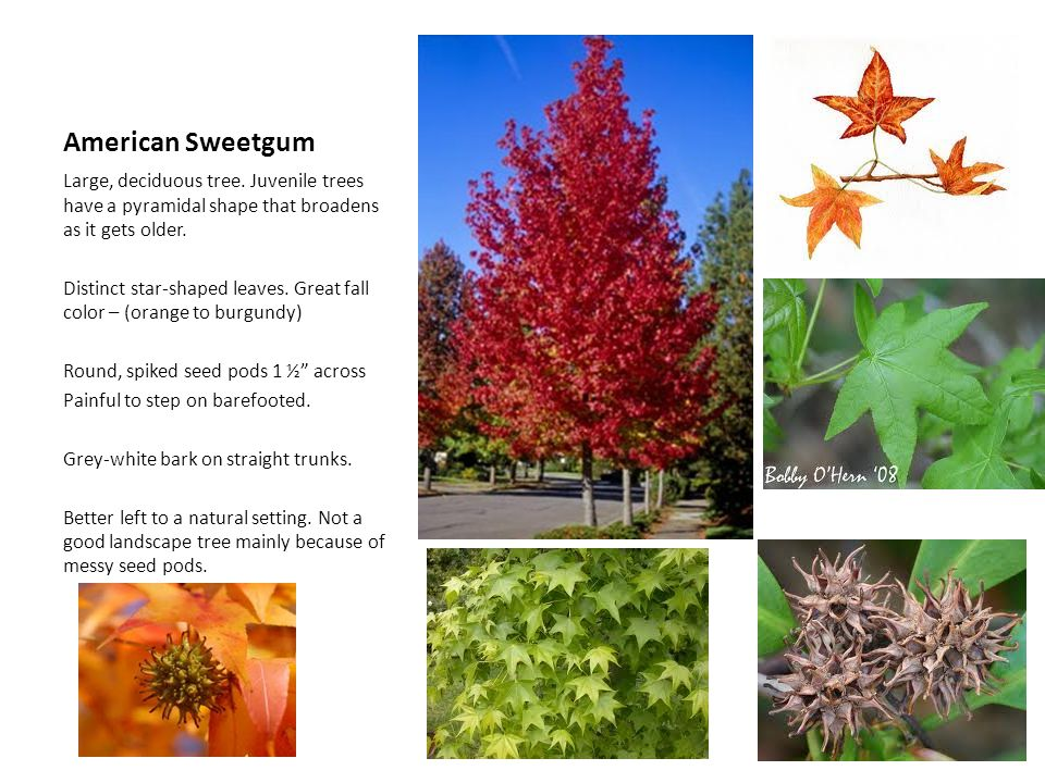 American Sweetgum Large, deciduous tree. Juvenile trees have a pyramidal shape that broadens as it gets older.