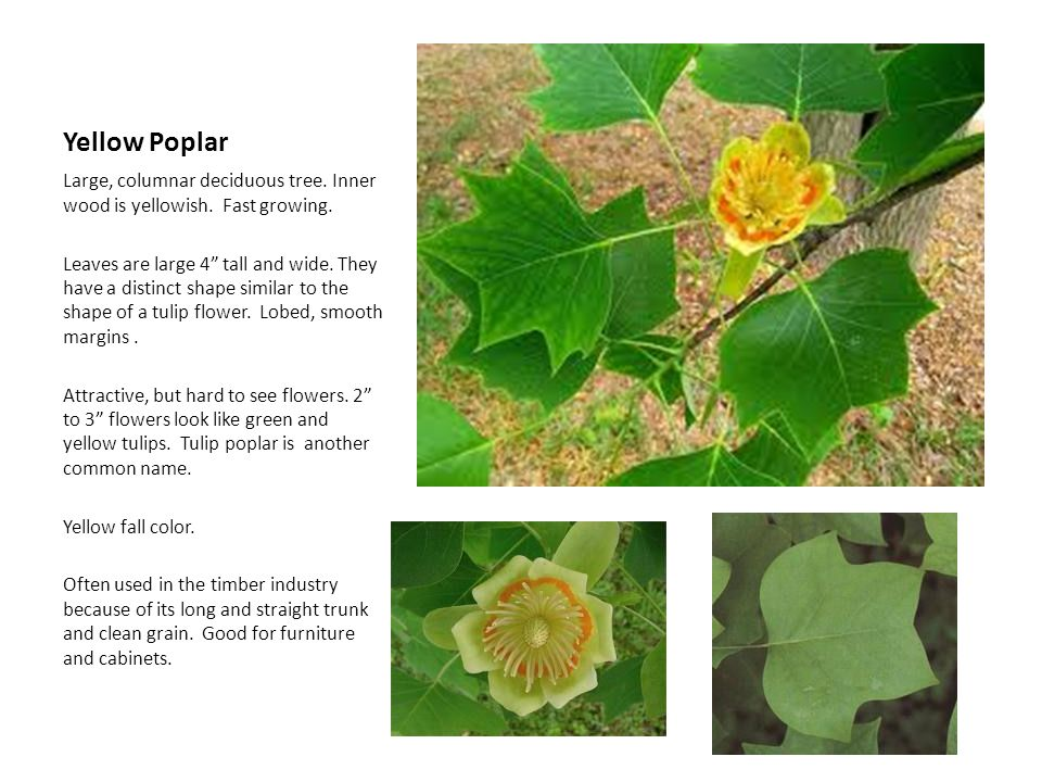 Yellow Poplar Large, columnar deciduous tree. Inner wood is yellowish. Fast growing.