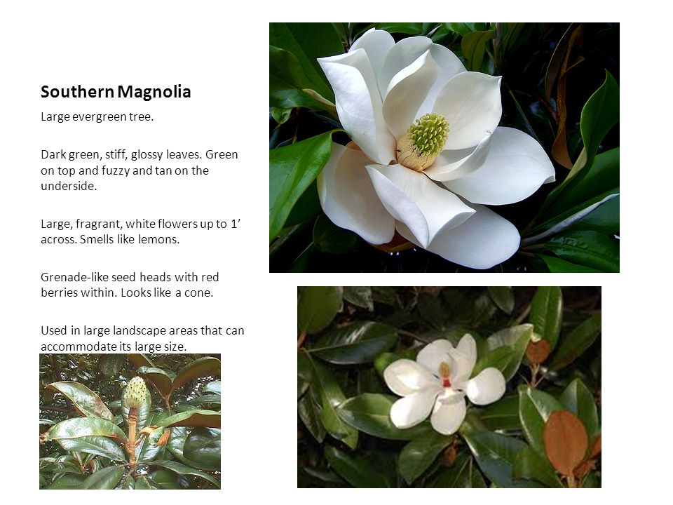 Southern Magnolia Large evergreen tree.