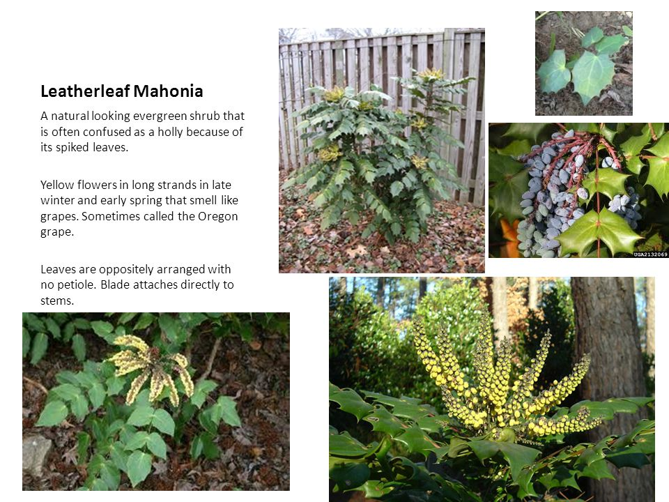 Leatherleaf Mahonia A natural looking evergreen shrub that is often confused as a holly because of its spiked leaves.