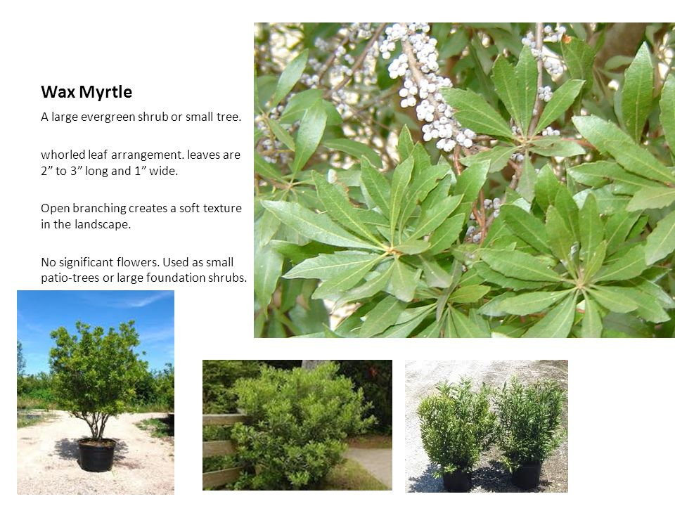 Wax Myrtle A large evergreen shrub or small tree.