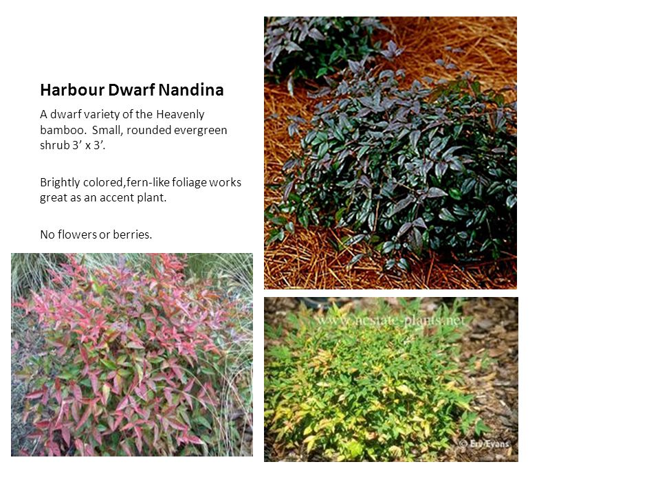 Harbour Dwarf Nandina A dwarf variety of the Heavenly bamboo. Small, rounded evergreen shrub 3' x 3'.
