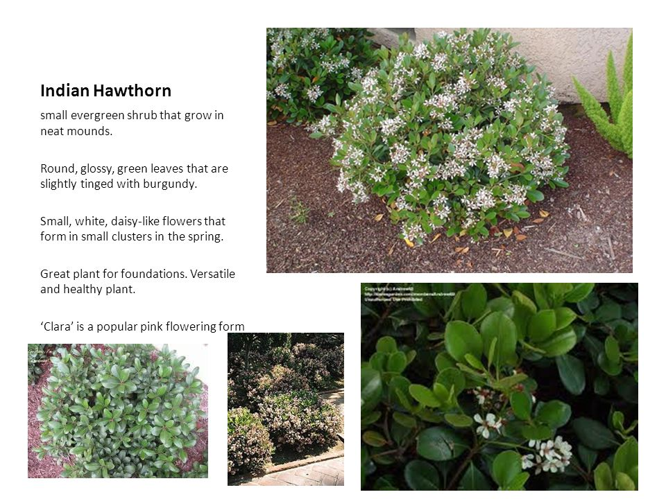 Indian Hawthorn small evergreen shrub that grow in neat mounds.