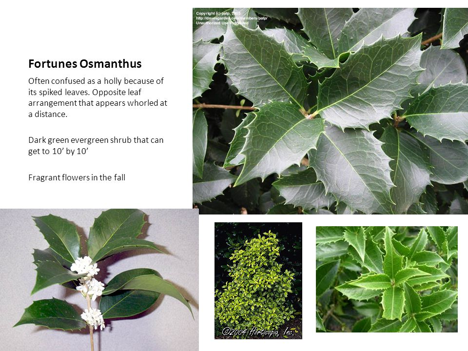 Fortunes Osmanthus Often confused as a holly because of its spiked leaves. Opposite leaf arrangement that appears whorled at a distance.
