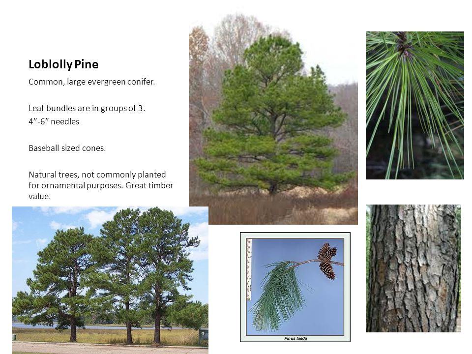 Loblolly Pine Common, large evergreen conifer.