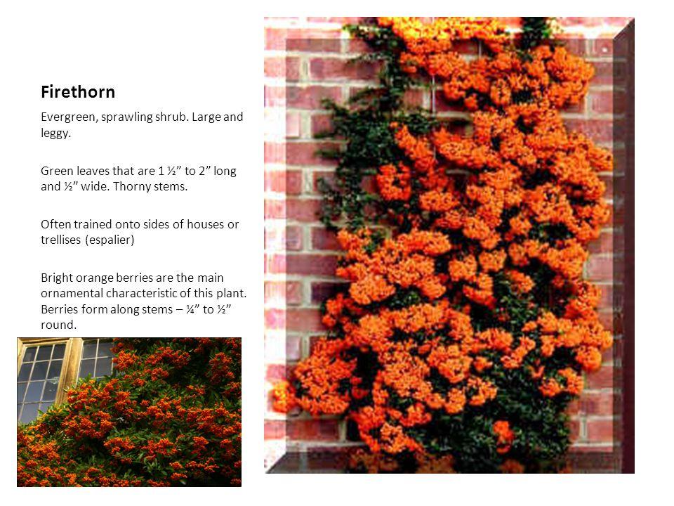 Firethorn Evergreen, sprawling shrub. Large and leggy.
